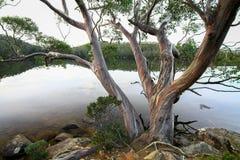 Eucalypt Over the Lake. Lake Dobson, Mt. Field National Park, Tasmania, Australia Stock Image