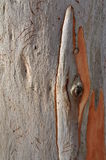 Eucalypt Tree Bark Stock Images