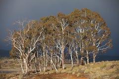 Eucalypt Trees Tasmania Stock Image