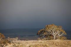 Eucalypt Trees Tasmania Royalty Free Stock Photo