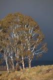 Eucalypt Trees Tasmania Royalty Free Stock Photography