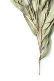 Eucalypt twig on white background stock photography