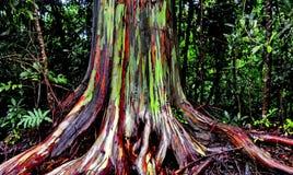 Eucalyptis树 库存照片