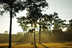 Eucalypts in the sun. Hunter valley, Blue Mountains, Australia Royalty Free Stock Photo