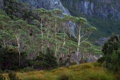 Eucalyptus électriques Images libres de droits