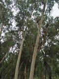 EucalyptusÂ/ËŒjuË  kəˈlɪptÉ™s/[2] L& x27; Héritier 1789 [3] & x28; 复数玉树、玉树或者桉树 库存照片