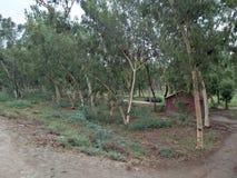 EucalyptusÂ/ËŒjuË  kəˈlɪptÉ™s/[2] L& x27; Héritier 1789 [3] & x28; 复数玉树、玉树或者桉树 免版税图库摄影