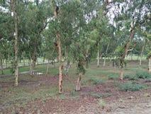 EucalyptusÂ/ËŒjuË  kəˈlɪptÉ™s/[2] L& x27; Héritier 1789 [3] & x28; 复数玉树、玉树或者桉树 免版税库存图片