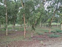 EucalyptusÂ/ËŒjuË  kəˈlɪptÉ™s/[2] L& x27; Héritier 1789 [3] & x28; meervoudseucalyptussen, eucalyptuses of eucalyptussen royalty-vrije stock afbeelding