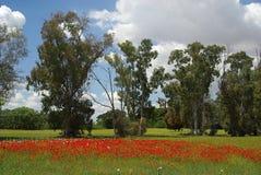 Eucalyptus 01 Royaltyfria Foton