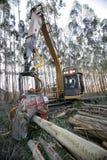 eucalyptus Arkivfoton