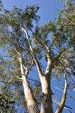 eucalyptus imagens de stock royalty free