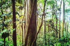 eucalyptus fotos de stock royalty free
