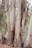 Eucalyptus Royalty Free Stock Photos