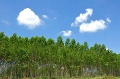 eucalyptus Royaltyfri Foto