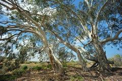 eucalyptus Royaltyfri Fotografi