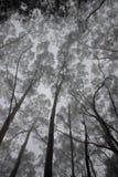 Eucalyptus. Trees in the mist Royalty Free Stock Photos