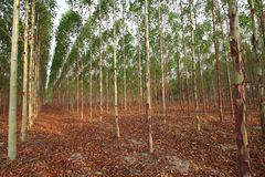 Eucalyptus royalty-vrije stock fotografie