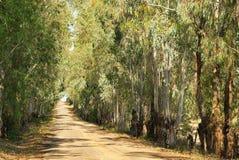 eucalyptus Arkivbilder