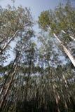 eucalyptus Arkivbild