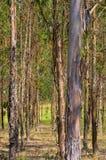 eucalyptus Arkivfoto