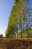 Eucalyptus. Forest in Thailand, plats for paper industry stock image
