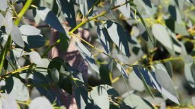Eucalyptus Stock Photography