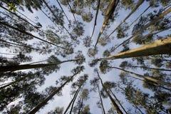 Eucalyptus Fotografie Stock Libere da Diritti