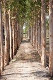 eucalyptus Royaltyfria Foton