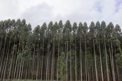eucalyptus imagens de stock