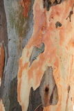 Eucalyptus Immagini Stock