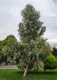 eucalyptus Photo libre de droits