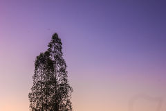 eucalyptus Royaltyfria Bilder