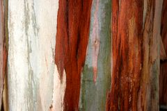 Eucalyptus. Detail of the crust of a eucalyptus Royalty Free Stock Photo