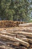 eucalyptus fotografia de stock