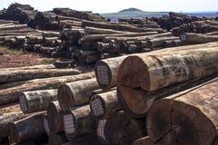 eucalyptus imagem de stock