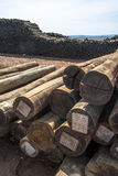 eucalyptus foto de stock royalty free