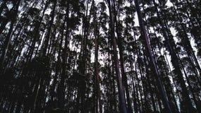 eucalyptus Fotografering för Bildbyråer