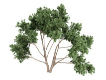 Eucalyptus Stock Afbeelding
