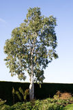 Eucalyptus against winter sky Stock Photography