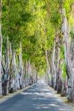 Eucalyptus alley. Rhodes, Greece Royalty Free Stock Image