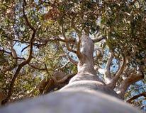 Eucalyptus australiano della gomma rossa della foresta dell'albero Fotografia Stock