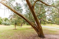 Eucalyptus in autumn, Kew garden Royalty Free Stock Photography