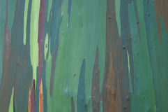 Eucalyptus bark close-up Stock Photography