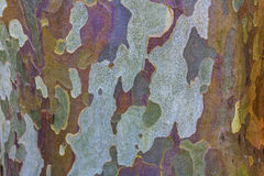 Eucalyptus Bark. Interesting color pattern stock photography