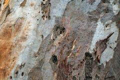 Eucalyptus bark texture Stock Images
