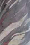 Eucalyptus. Bark of a eucalyptus tree Stock Photos