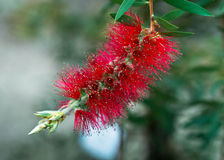 Eucalyptus Blossom Stock Images