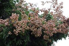 Taiwan Luan tree, adobe rgb royalty free stock photo