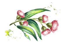 Eucalyptus branch with leaves and red flowers. Isolated on white background. Watercolor hand drawn illustration vector illustration